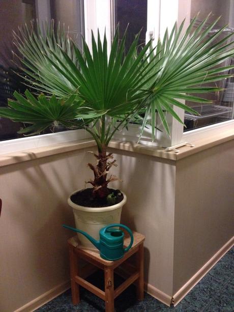 Пальма вашингтония в домашних условиях выращивание из семян 15
