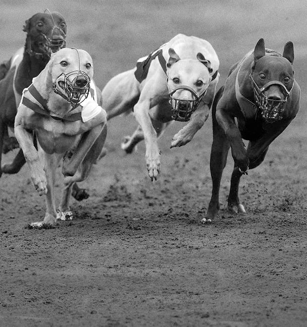 Гид по грейхаундам, главным героям собачьих бегов