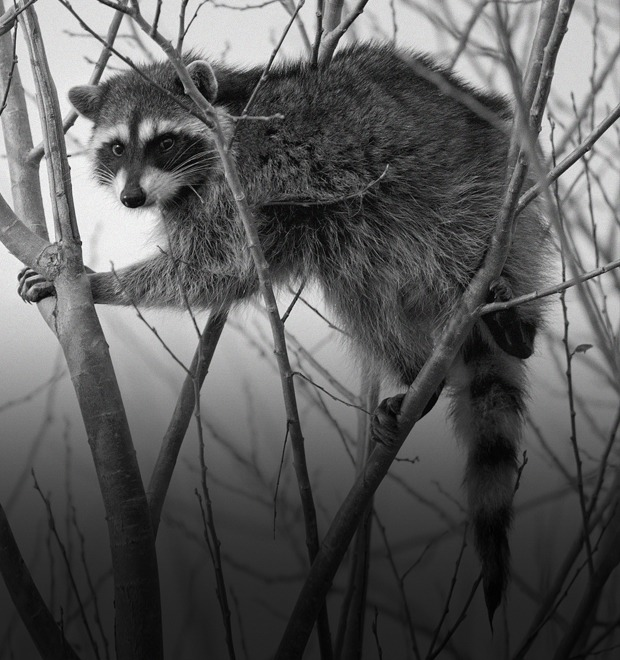 Фанзиль, капибара, скунс: Кого завести дома вместо кошек и собак