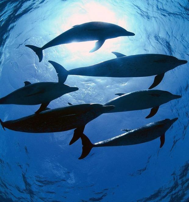 Боевой плавник: Как дельфины служили в российском флоте — Культура на FURFUR