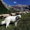 Полиция научится управлению демонстрантами у пастушьих собак