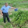 Из-за аномальной жары в Беларуси увеличился урожай конопли