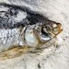 Эх, хвост-чешуя: 13 видов вяленой рыбы