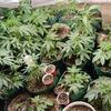В канадском доме престарелых «Вечно молодые» обнаружили 550 кустов марихуаны