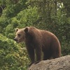 Швейцарцы убили единственного медведя в стране
