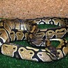 В США зафиксирован факт непорочного зачатия у змеи