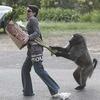 Кейптаун оккупировала банда бабуинов