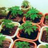 Девочка сдала родителей, выращивающих марихуану в своём доме