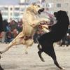 В столице Грузии запретили собачьи бои
