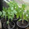 На Kickstarter собрали деньги на освобождение заложников-томатов