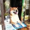 Японский пес-продавец породы сиба-ину стал звездой интернета