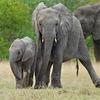 Китайские слоны-наркоманы избавились от героиновой зависимости