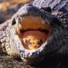 Друзья на гольф-каре спасли шотландца от атаки крокодила