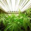 Британец обратился в полицию за помощью в поиске украденной марихуаны