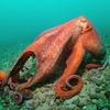 Учёные придумали имитирующий кожу осьминога камуфляж