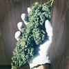 Что публикуют в своих Instagram фермеры, выращивающие марихуану