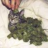 Молдавский кот арестован за контрабанду марихуаны в тюрьму
