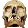 Аноним со странностями отдал три человеческих черепа в комиссионный магазин