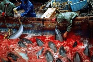 Как власти Японии закрывают глаза на массовые убийства дельфинов в дань древней традиции