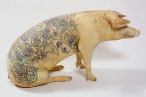 Всё о татуировках на свиньях