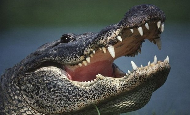 Американский ребёнок сумел отбиться от аллигатора. Изображение № 1.