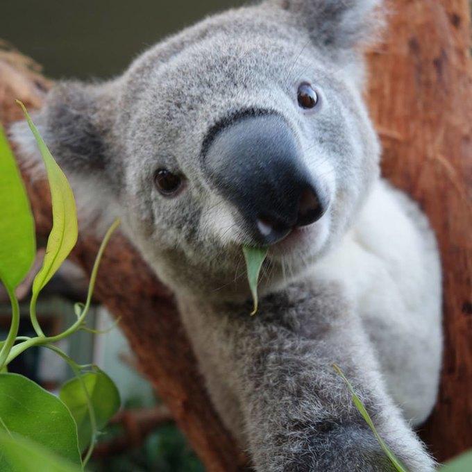 Сиднейских коал научили делать селфшоты. Изображение № 2.