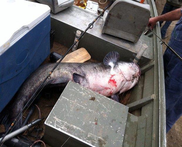 В Луизиане 12-летний мальчик поймал 51-килограммового сома. Изображение № 2.