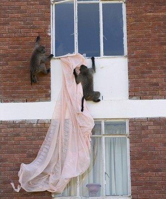 Кейптаун оккупировала банда бабуинов. Изображение № 5.