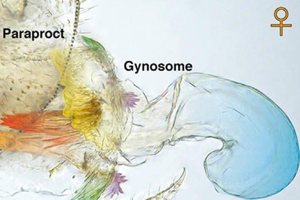 Учёные нашли насекомых, меняющихся половыми органами . Изображение № 1.