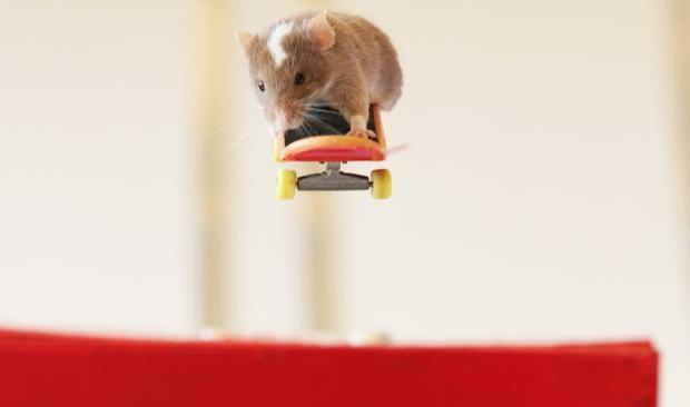 Австралиец научил мышей кататься на скейтбордах. Изображение № 1.