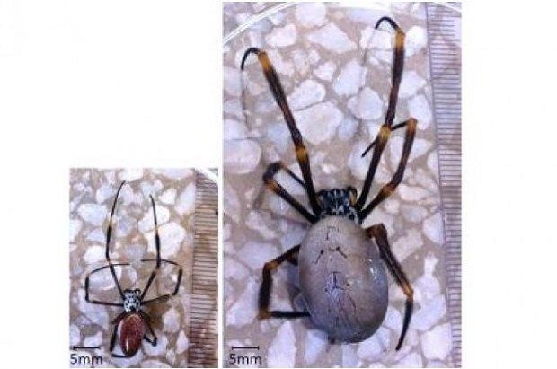 Городские пауки становятся больше своих собратьев в дикой природе. Изображение № 1.