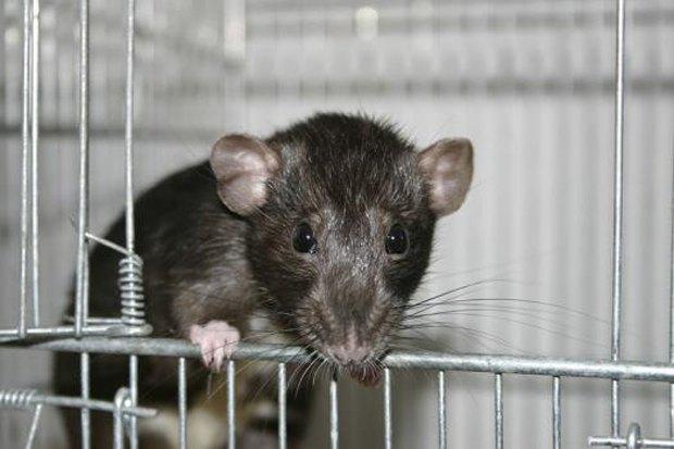 В Нидерландах появились полицейские крысы-ищейки . Изображение № 1.