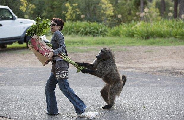 Кейптаун оккупировала банда бабуинов. Изображение № 3.