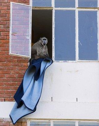 Кейптаун оккупировала банда бабуинов. Изображение № 4.
