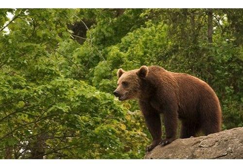 Швейцарцы убили единственного медведя в стране. Изображение № 2.