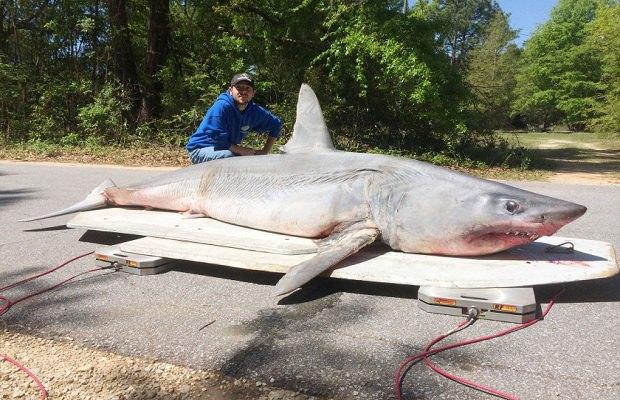 Житель Флориды поймал рекордно большую акулу, но съел ее до фиксации достижения. Изображение № 1.