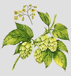 Что такое кислое пиво — редкий напиток дикого брожения. Изображение № 5.