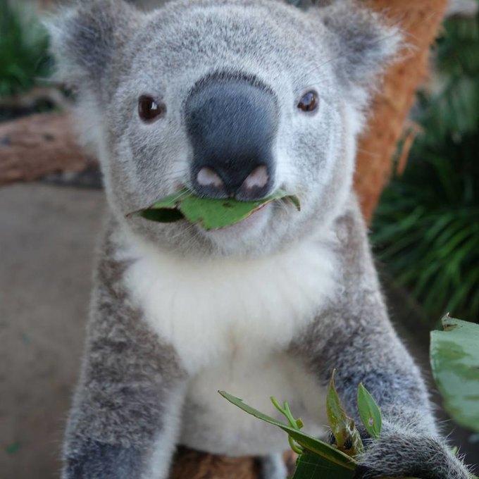Сиднейских коал научили делать селфшоты. Изображение № 6.