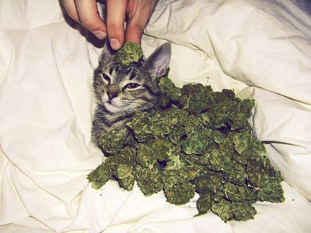 Молдавский кот арестован за контрабанду марихуаны в тюрьму. Изображение № 1.