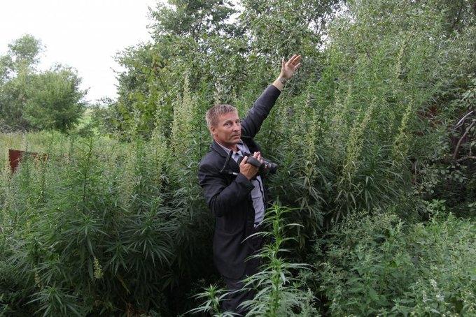 В Костроме пчёлы пытались отбить плантацию конопли у полицейских. Изображение № 5.