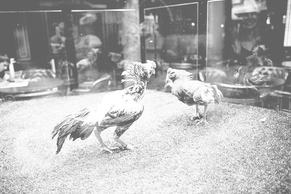 Энгри Бердс: Репортаж с тренировки бойцовых петухов. Изображение № 5.