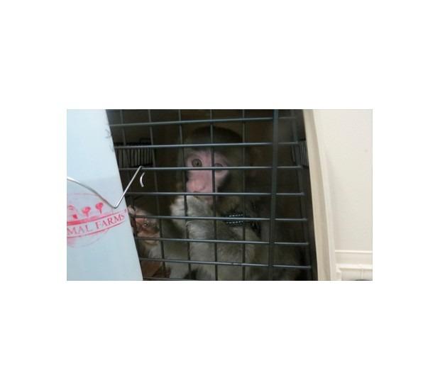 В Канаде обезьяна в пальто зашла в магазин IKEA. Изображение №8.