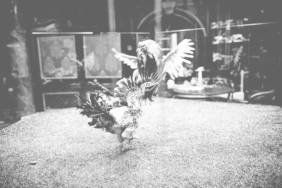 Энгри Бердс: Репортаж с тренировки бойцовых петухов. Изображение № 13.