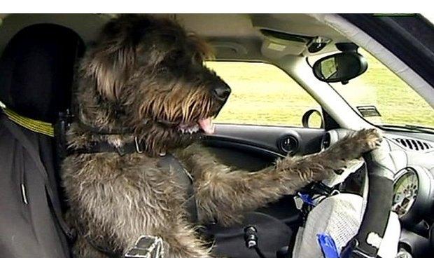 В Америке собака за рулем автомобиля сбила пешехода. Изображение № 2.