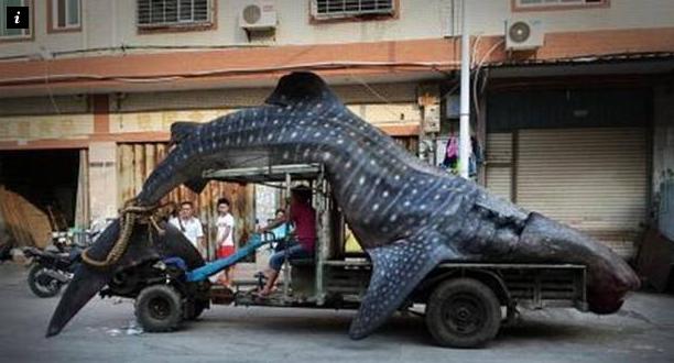 Китайский рыбак поймал редкую китовую акулу весом в 2 тонны. Изображение №1.