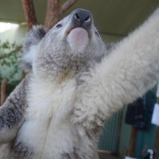 Сиднейских коал научили делать селфшоты. Изображение № 1.