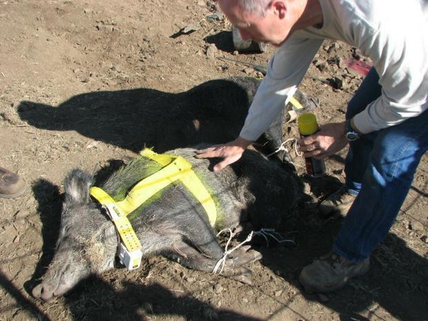 Австралийской свинье, укравшей пиво, собираются поставить памятник. Изображение № 1.