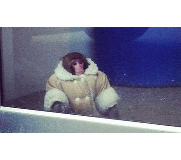 В Канаде обезьяна в пальто зашла в магазин IKEA. Изображение №2.