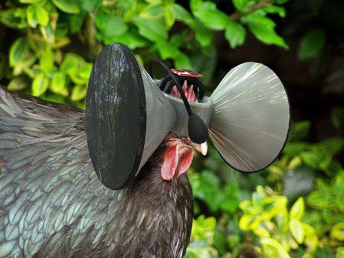 В штате Айова курицы «получат» очки виртуальной реальности. Изображение № 1.