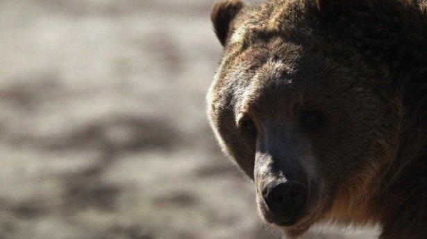 Швейцарцы убили единственного медведя в стране. Изображение № 1.